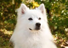 american eskimo dog chicago 10 best cold weather dog breeds u2014 photo gallery