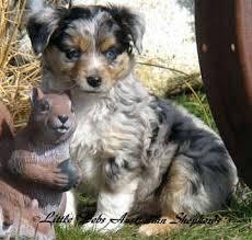 australian shepherd rescue california mini aussie puppies for sale mini australian shepherd dogs for