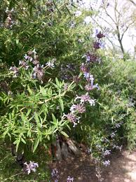 gardening with natives surfrider foundation stumped by sages matilija nursery california native plant and