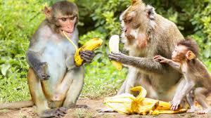 cute monkey eating banana funny animals and pets compilation