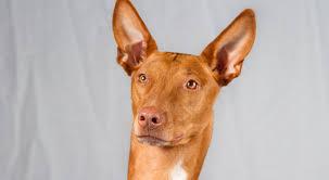 afghan hound of america pharaoh hound dog breed information american kennel club