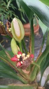 aglaonema aglaonema nitidum araceae burmese evergreen