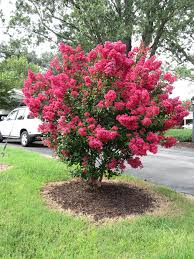 Backyard Landscaping Ideas For Privacy by Crape Myrtles For Privacy Red Flowering Crape Myrtles What