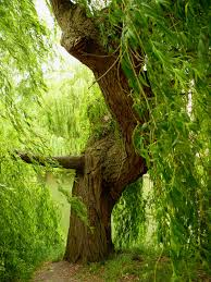 willow tree free stock photo public domain pictures