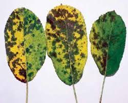 Symptoms Of Viral Diseases In Plants - apple diseases and symptoms u2014 vikaspedia