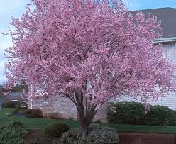 purple leaf plum tree in the it has beautiful pink
