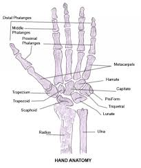 Diagram Of Knee Anatomy Bones Of The Hand Diagram 7 Best Images Of Hand And Arm Human Bone