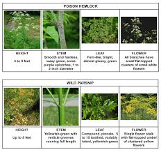 Poisonous Garden Flowers by Image Result For Poison Hemlock Skin Reaction Poisonous Plants