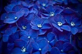 blue flowers blue flowers wallpaper opera add ons