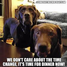 Chocolate Lab Meme - grumpy dog meme lovely chuckie the chocolate lab teamchuckie