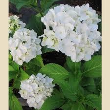 white hydrangea hydrangea macrophylla white shrubs plant type boething