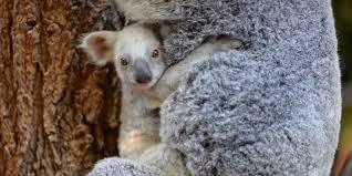 best cv exles australia zoo australia zoo wants you to name their new baby drop bear student