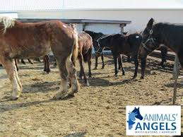 Bloomfield Sale Barn Bloomfield Horse Auction Oh 2 18 12 Animals Angels North America