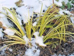 Sweet Flag Grass 8 Plants That Look Good After Bitter Cold Garden Bloggers Bloom