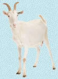 goats won u0027t eat christmas trees