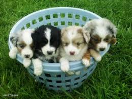 australian shepherd miniature miniature australian shepherd puppies in kansas dogs pinterest