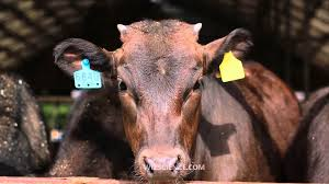 beef cattle video learning wizscience com youtube