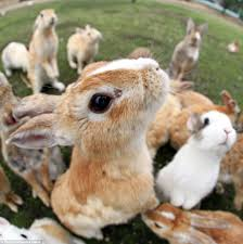 rabbit island japan tourists queue up to be smothered in cute