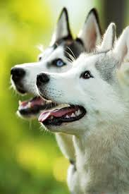 bichon frise z hter hessen 357 best images about собаки dogs on pinterest border collies