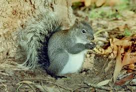 How To Hunt Squirrels In Your Backyard by Tree Squirrels Identification And Management Pests In The Urban