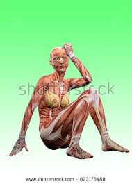 Female Muscles Anatomy Female Muscle Anatomy Exhausted 3d Illustration Stock Illustration