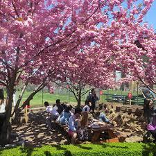 cherry blossom pics cherry blossom festival randall s island park alliance