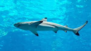 spinner shark oceana