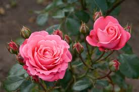 roses and bush roses hello hello