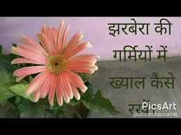 gerbera plant how to care gerbera flower plant जरब र क