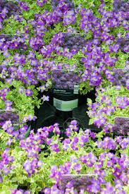 purple aubrieta plants in pots for sale at a flower market stall