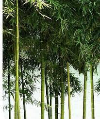 bambus fã r den balkon die besten 25 bambus winterhart ideen auf chinaschilf