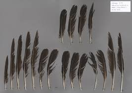 kolkrabe corvus corax vogelfedern auf featherbase info