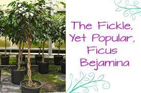 the fickle yet popular houseplant ficus benjamina youtube