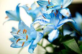 blue lilies sapphire blue lilies natalie myra photography