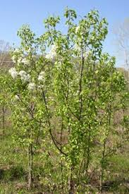 stop the spread of invasive ornamental pear tree hybrids in