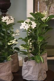 madagascar native plants 216 best fragrant plant images on pinterest plants flowers and