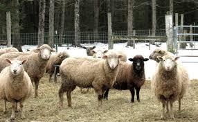 the secret rise of mutton modern farmer