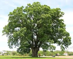 willow oak tree sale 80 savings buy grower direct