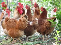group of hens with rooster u2014 stock photo liliya 1622634