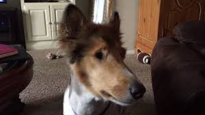 australian shepherd haircuts 2017 tigger the collie dog u0027s summer haircut a walk and bark