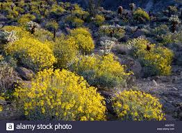 yellow flowers of brittlebrush encelia farinosa cholla catus and