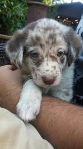australian shepherd dog puppies the aussiedor u2013 australian shepherd labrador puppies aussiedoodle