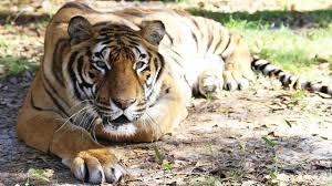 hoover tiger u0027s birthday and anniversary big cats pinterest