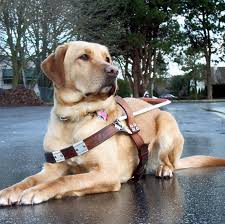 guide dog harness careers bc and alberta guide dogs