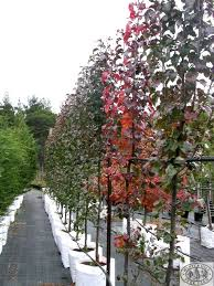 ornamental pear fastigiate a by the curb and maybe in the