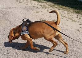 belgian malinois vest five heroic dogs honored with akc humane fund awards for canine