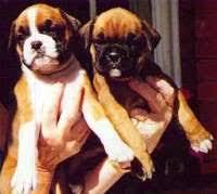 boxer dog 3 weeks pregnant boxer dog faq boxer world forums