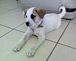 american pit bull terrier lab mix file pitbull terrier americano jpg wikimedia commons