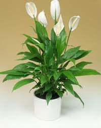 Best Low Light Indoor Plants by The Best Low Light Apartment Plants U2013 Residentshield