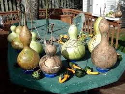 goose gourds birdhouse gourds maturing hardening curing vs rotting